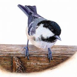Watercolour Print of a Garden Bird, Realistic Coal Tit
