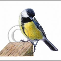 Garden Bird Watercolor Print, Realistic Great Tit
