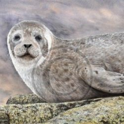 Watercolor Animal and Wildlife Print, Grey Seal