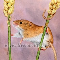 Harvest Mouse in detailed watercolour by The Devon Artist