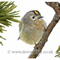 How to paint a goldcrest in watercolour, step by step PDF