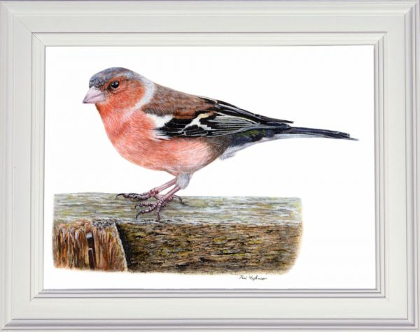 Chaffinch painted in fine art watercolour, shown framed