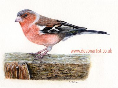 How to paint a chaffinch in watercolour, step by step PDF