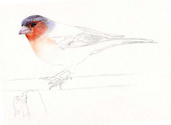 How to paint a chaffinch in fine art detail, step 1