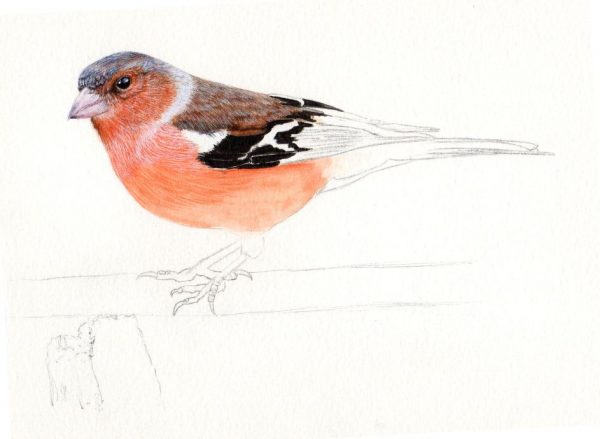How to paint a chaffinch in fine art detail, step 2