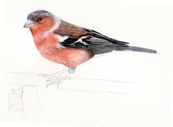 How to paint a chaffinch in fine art detail, step 3