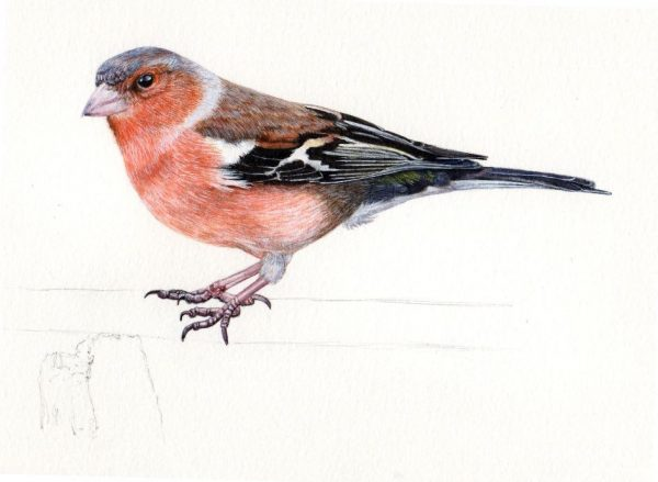 How to paint a chaffinch in fine art detail, step 4