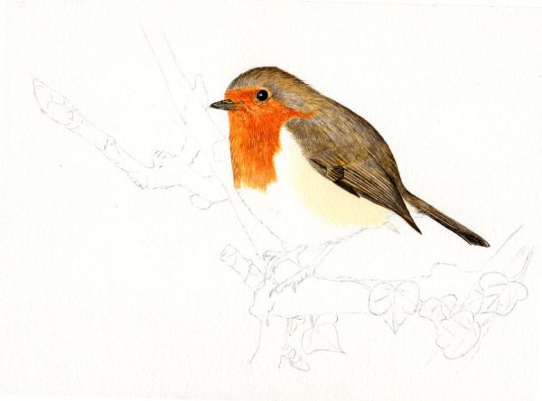How to paint a robin in watercolour, a tutorial stage 2
