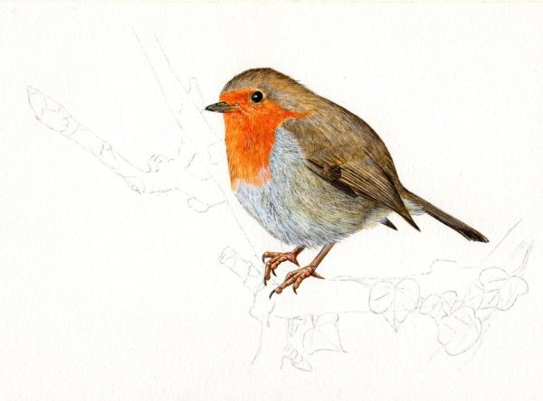 How to paint a robin in watercolour, a tutorial stage 3