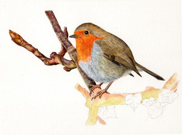 How to paint a robin in watercolour, a tutorial stage 4