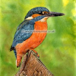 Use Watercolour to Paint Realistic Birds, Kingfisher PDF