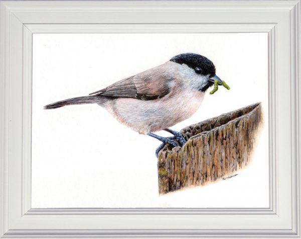 Marsh tit painted in watercolour displayed in a white frame