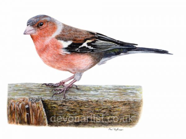 Watercolour tutorial on painting a chaffinch bird by Paul Hopkinson