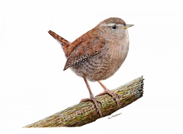 Realistic watercolour painting of a British wren by Paul Hopkinson