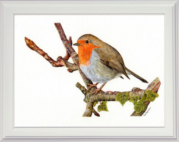 Robin painted in watercolour displayed in a white frame
