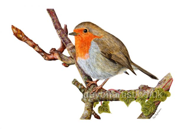 Robin painted in realistic watercolour by Paul Hopkinson