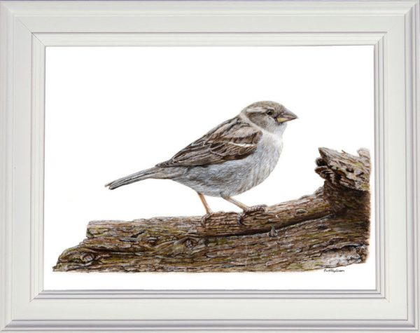 Sparrow watercolour painting by Paul Hopkinson
