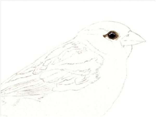 Step by step e-book guide on painting a sparrow in watercolour, stage 1