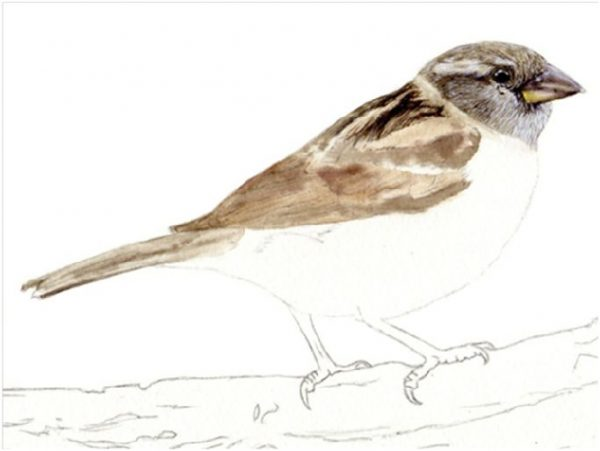 Step by step e-book guide on painting a sparrow in watercolour, stage 2