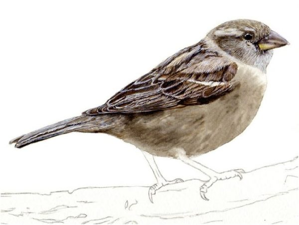 Step by step e-book guide on painting a sparrow in watercolour, stage 3