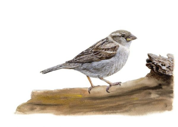 Step by step e-book guide on painting a sparrow in watercolour, stage 4