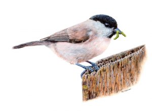 Watercolour Tutorial for Beginners, Painting a Bird - Marsh Tit