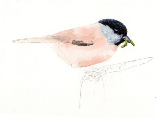 Watercolour tutorial for beginners on painting realistic birds, stage 2