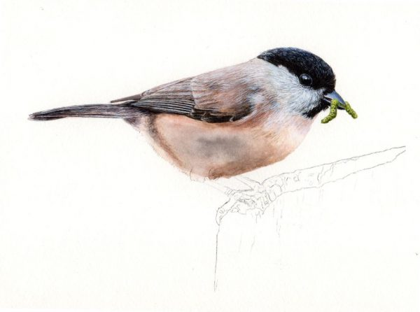 Watercolour tutorial for beginners on painting realistic birds, stage 3