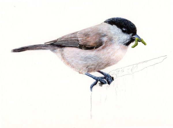 Watercolour tutorial for beginners on painting realistic birds, stage 4