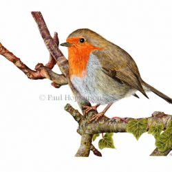 How to paint a robin in easy steps using watercolour