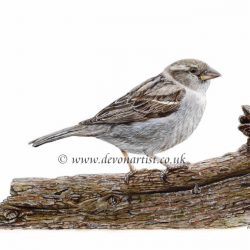Step by step PDF tutorial on painting a sparrow in watercolour
