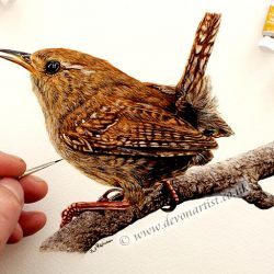 How to paint a wren. Detailed step by step lesson using watercolour