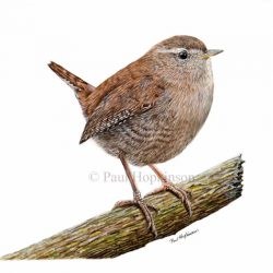 How to paint a wren in easy steps using watercolour