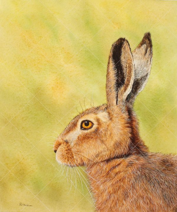 Hare painted in watercolour by Paul Hopkinson