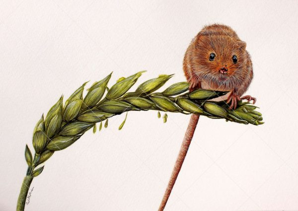 Harvest mouse painted in watercolour by Paul Hopkinson