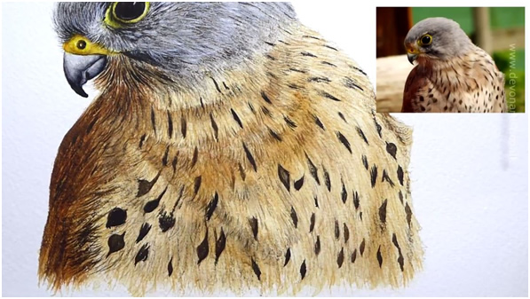 Stage 4 of painting a kestrel bird watercolour illustration