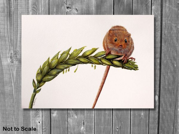 Watercolor painting of a harvest mouse by Paul Hopkinson shown on a wall