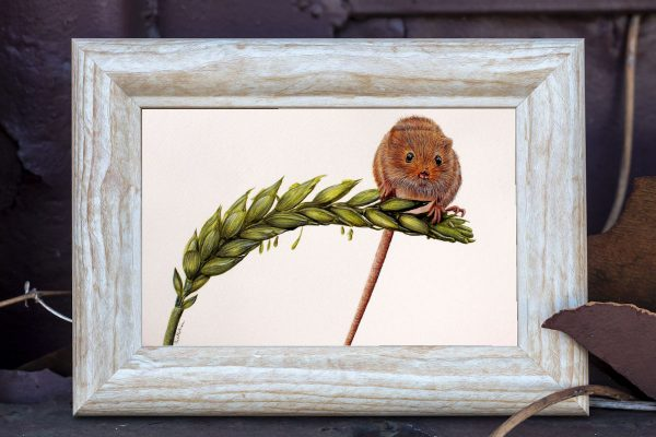 Watercolour painting of a harvest mouse by Paul Hopkinson shown in a rustic frame