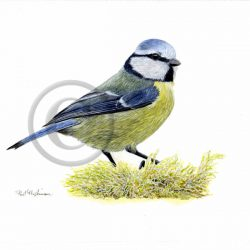 Original watercolour painting of a blue tit by Paul Hopkinson