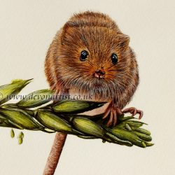 Close up view of the realistic detail within a harvest mouse watercolour painting