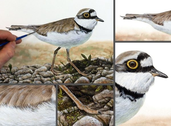 Close up photos of a plover watercolor painting by Paul Hopkinson