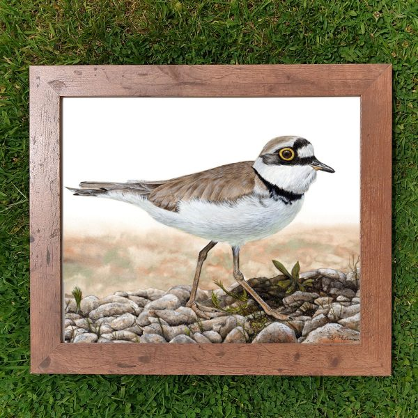 A framed realistic watercolor plover painting by Paul Hopkinson