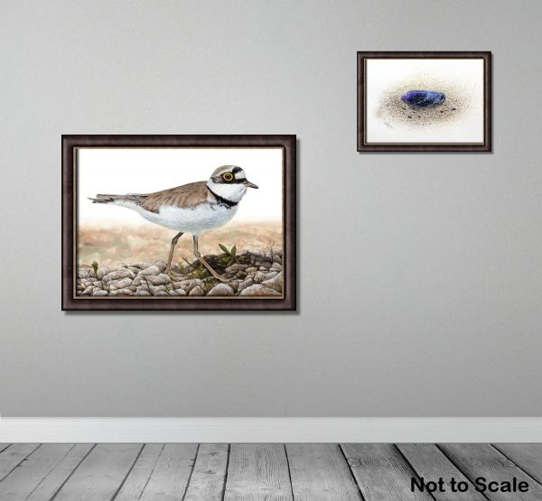 A framed watercolour painted little ringed plover by Paul Hopkinson