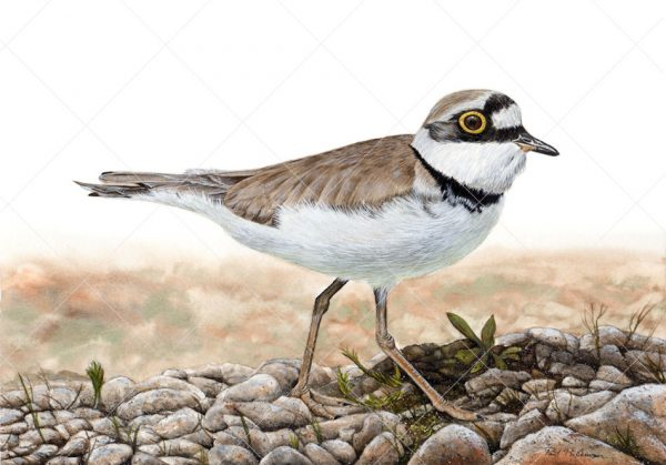 Little ringed plover painted in watercolour by Paul Hopkinson