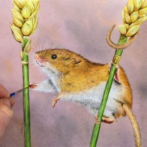 Paul Hopkinson, wildlife artist, harvest mice watercolour painting