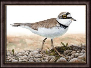 Original Watercolour Bird Painting by Paul Hopkinson, Little Ringed Plover