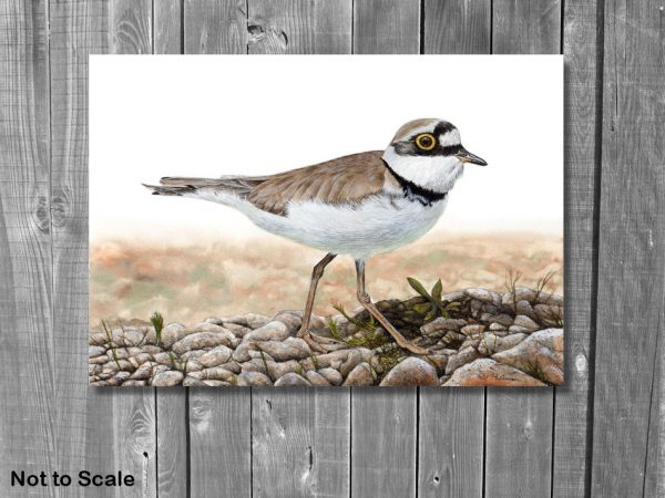 Watercolor painting of a little ringed plover by Paul Hopkinson displayed on a wall