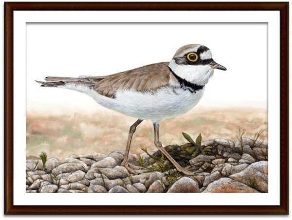 Watercolor painting of a plover bird by Paul Hopkinson, shown mounted and framed