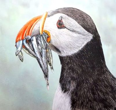 Step by step PDF tutorial on painting a puffin in watercolour