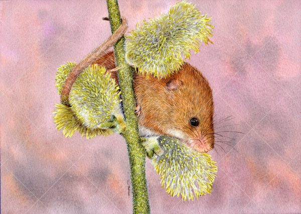 Harvest mouse painted in realistic watercolour by Paul Hopkinson